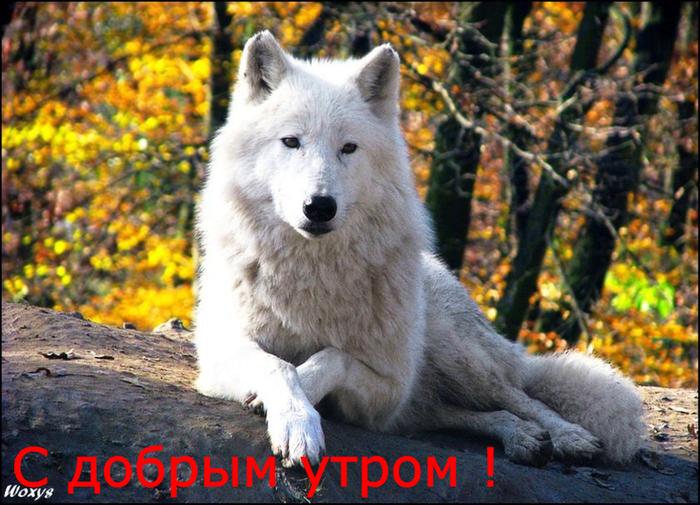 307222__the-wolf_pволчица (700x505, 459Kb)