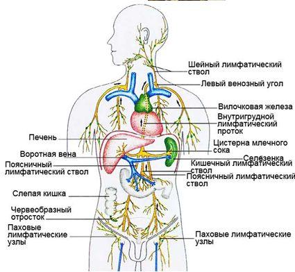 4026647_97074273_zdorove_Limfaticheskayasistema (425x392, 38Kb)