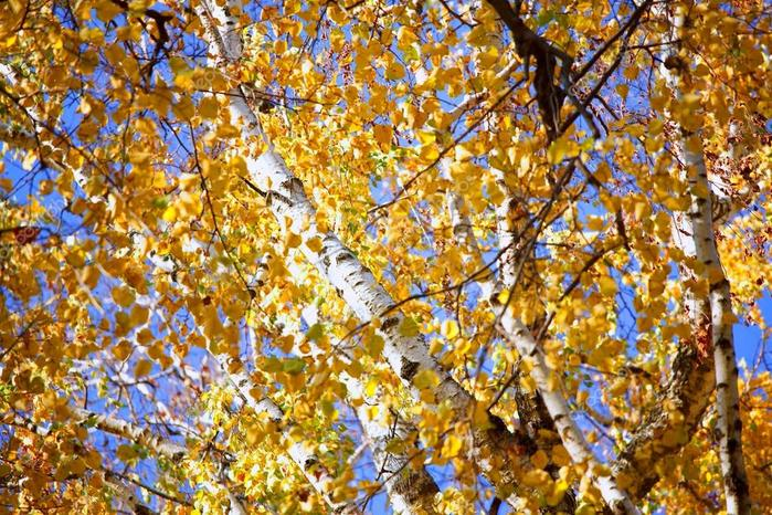 depositphotos_8232893-stock-photo-the-bright-yellow-autumn-leaves (700x400, 113Kb)