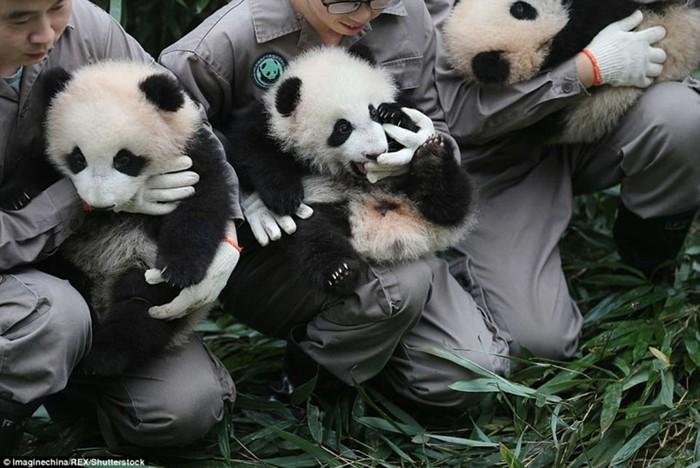 У панд в Китае настоящий бэби бум!
