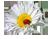 4059776_romashka_malenkaya (50x39, 7Kb)