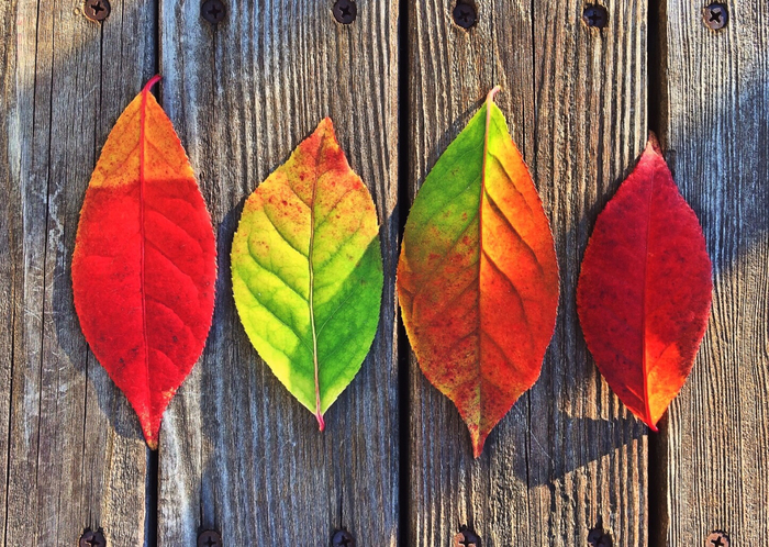 tree-branch-plant-leaf-fall-flower-red-colourful-color-autumn-colorful-season-maple-leaf-leaves-colors-modern-art-969716 (700x498, 534Kb)