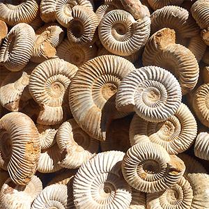 ammoniti-mnogo (300x300, 65Kb)