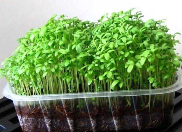 Как в домашних условиях вырастить зелень 8