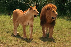 4208855_lion (300x200, 15Kb)