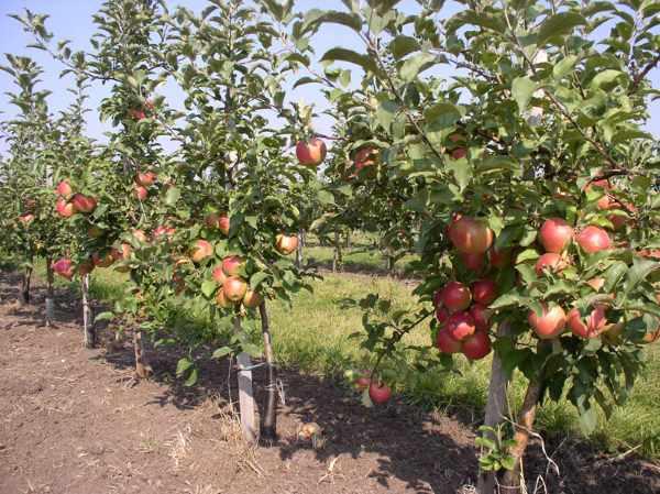 Как посадить яблоню осенью?/4512595_kak_posadit_jablonju_osenju (600x449, 53Kb)