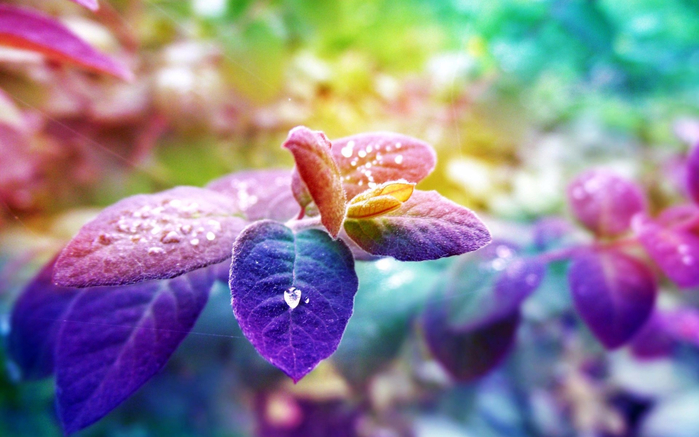 Blue-purple-leaves-the-morning-dew_1920x1200 (700x437, 337Kb)