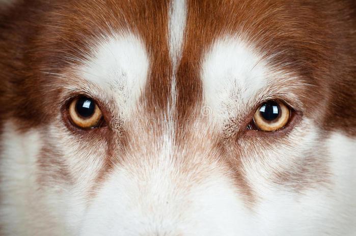 глаза-собаки-закрывают-вверх-27744032 (700x464, 61Kb)