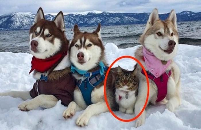 Эта кошка считает себя большой и опасной собакой, потому что ее спасли «сородичи» хаски