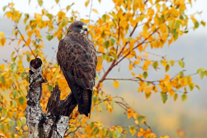 Birds_Autumn_Hawk_Swainson_'s_Hawk_520523_5184x3456 (700x466, 409Kb)