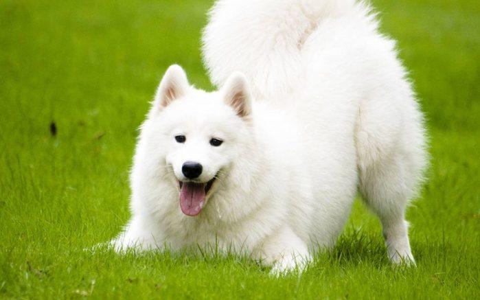Samoyed dog full grown
