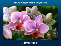 5107871_ORHIDEI (250x188, 84Kb)