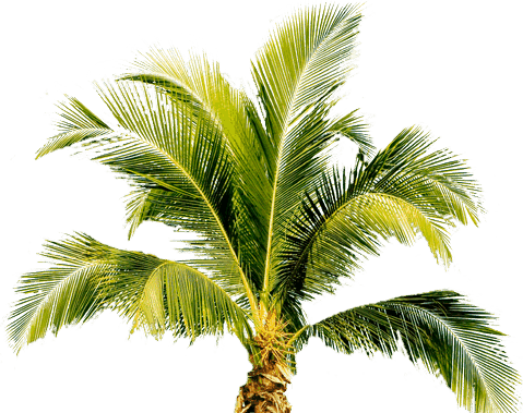 1495919173palm-tree-png-image-2494 (479x379, 78Kb)