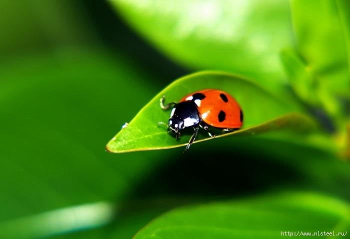 3925073_ladybug1 (700x478, 120Kb)