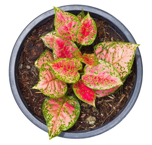 Горшечные растения, которые очищают воздух от опасных загрязняющих веществ (1) (518x492, 312Kb)