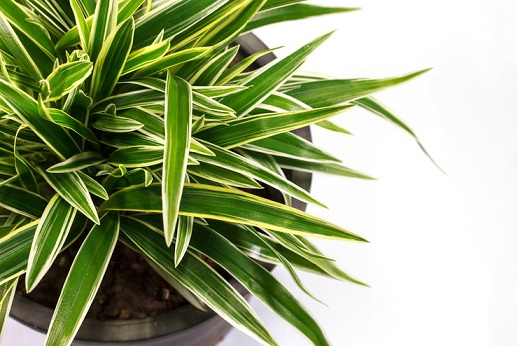 Горшечные растения, которые очищают воздух от опасных загрязняющих веществ (3) (518x346, 200Kb)
