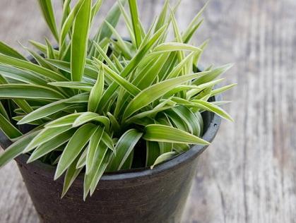 Горшечные растения, которые очищают воздух от опасных загрязняющих веществ (5) (419x316, 140Kb)