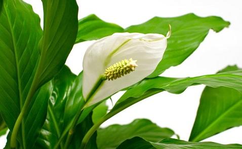Горшечные растения, которые очищают воздух от опасных загрязняющих веществ (9) (478x296, 134Kb)