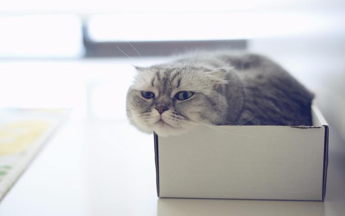 Animals___Cats_Scottish_Fold_cat_in_the_box_045505_ (700x437, 167Kb)
