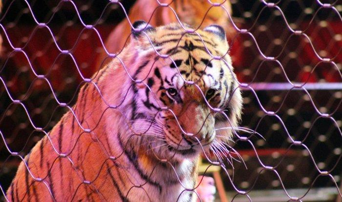 тигр в клетке/4552399_ (700x414, 72Kb)