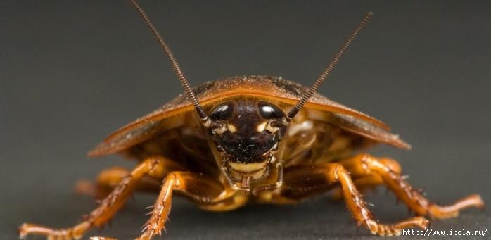 """alt=""""Ловушки для тараканов – убойная сила!""""/2835299_TARAKAN (700x341, 112Kb)"""