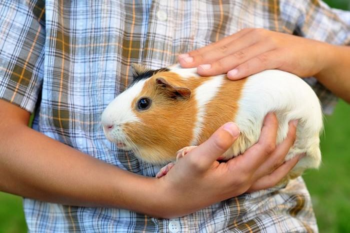 Почему морские свинки называются морскими свинками?