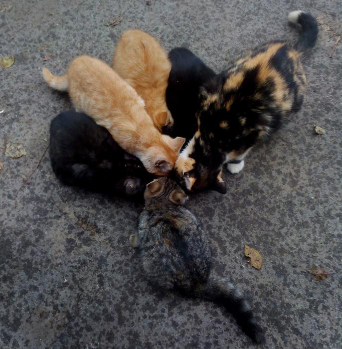 Китикет. Кошка с котятами./683232_mi_delili_kitiket (686x700, 297Kb)