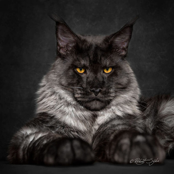 maine-coon2-768x768 (700x700, 67Kb)
