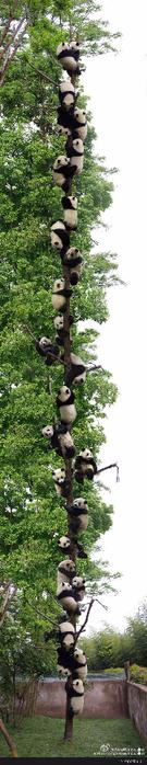 панды (135x700, 140Kb)
