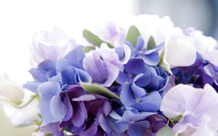 Hydrangea-Wallpaper-HD-1280x800 (700x437, 52Kb)