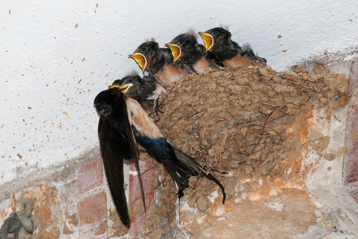 swallow-nest (700x468, 467Kb)