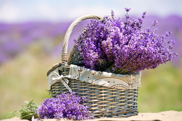 lavender-featured (700x466, 461Kb)