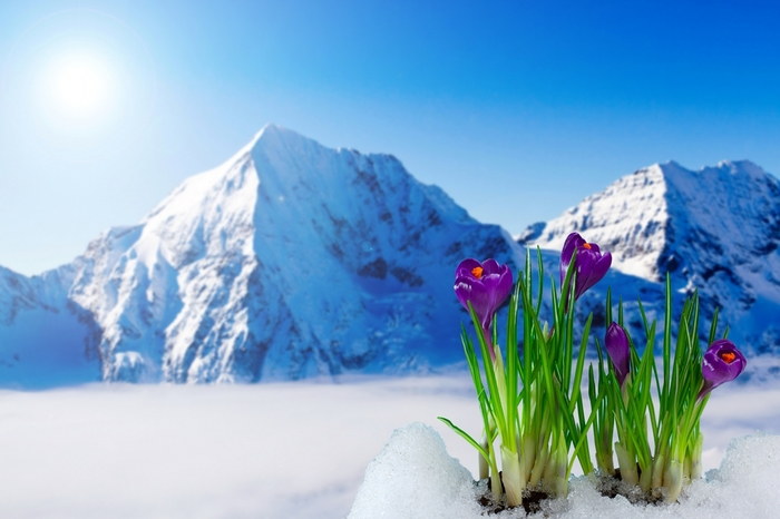 5320643_Scenery_Crocuses_411080 (700x466, 191Kb)
