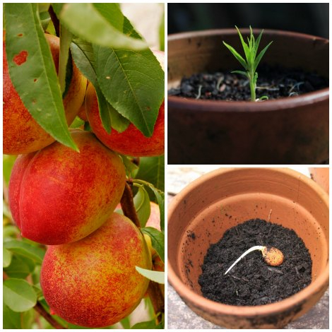 Выращивание с косточек абрикос 100