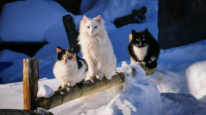 Animals___Cats_Three_cat_on_a_wooden_fence_095819_ (700x393, 50Kb)