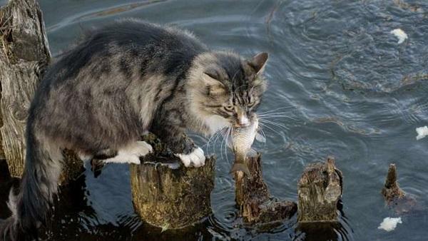 кот-ловит-рыбу (600x338, 85Kb)