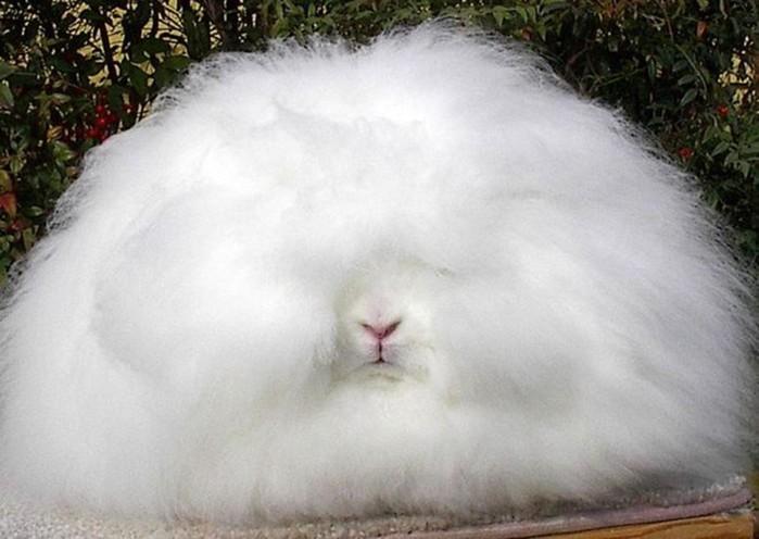 Ангорские кролики: рекордсмены среди пушистиков