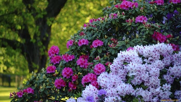 cvety-rododendrony--azalii-kusty-rododen-1081625 (700x393, 145Kb)