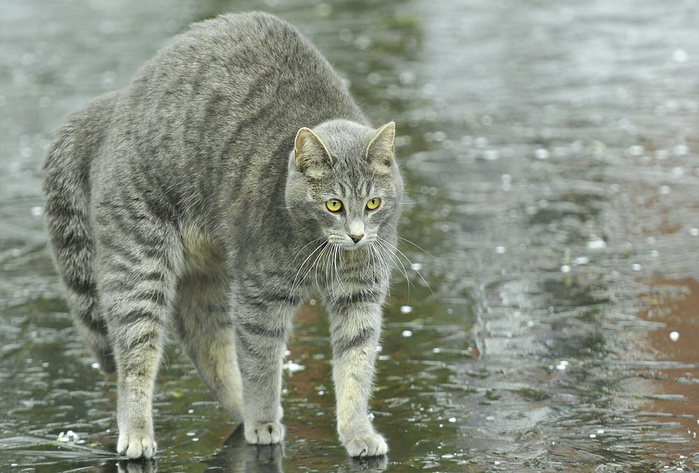 Animals___Cats_Playful_gray_cat_in_the_rain_046759_ (700x473, 159Kb)