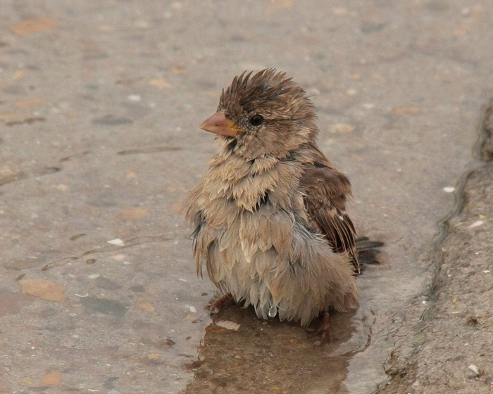 feathers_wet_water_sparrow_puddle_85414_1280x1024 (700x560, 181Kb)