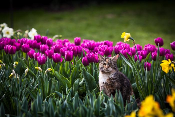 кот-сидит-среди-тюльпанов (700x466, 188Kb)