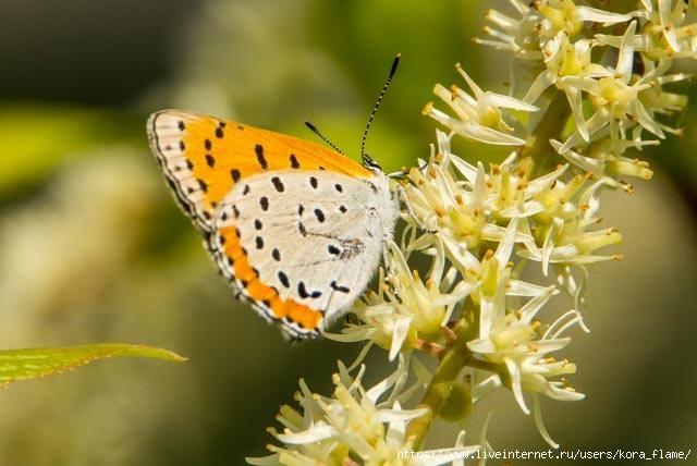 butterfly (640x428, 140Kb)