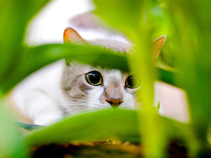 hiding_cat-Animal_World_Photography_wallpaper_1280x960 (700x525, 59Kb)