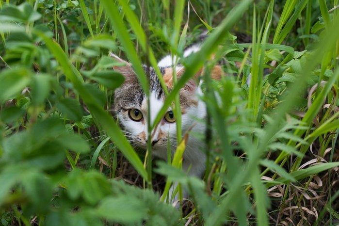 cat-sneaks-hunter-grass-multi-color-wallpaper (700x466, 70Kb)
