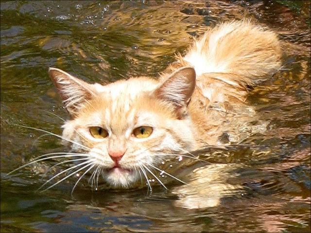 1453584901_swin_cats_01 (640x480, 287Kb)