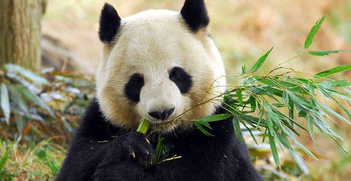 panda-kitay (700x360, 61Kb)