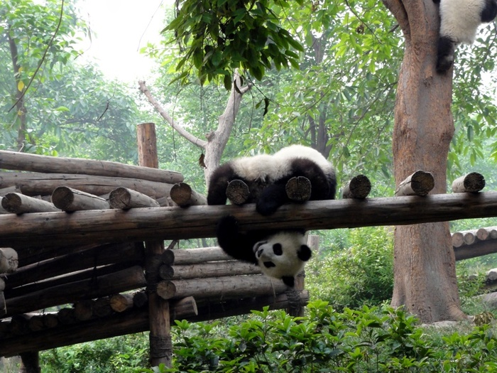 panda4 (700x525, 189Kb)