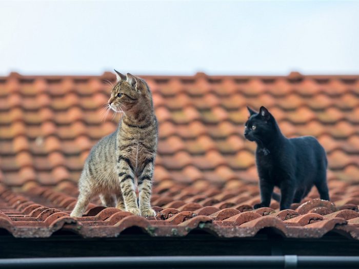 Grey-and-black-cats-roof_1024x768 (700x525, 289Kb)