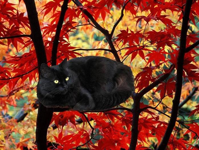 gatto-nero-colori-autunno-black-cat (700x525, 507Kb)