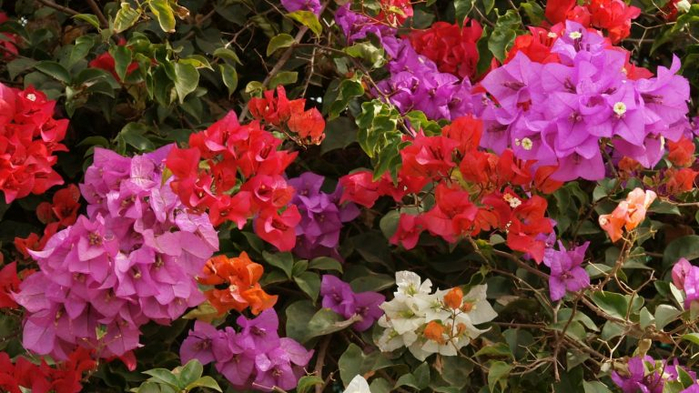 bougainvillea-flower-768x432 (700x393, 374Kb)